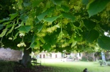 lime_leaves_underthelimetree