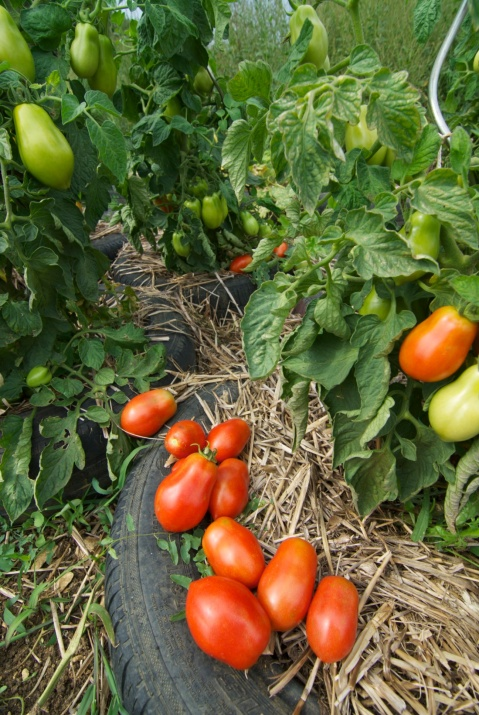 tomatoes_plum_under_the_lime_tree